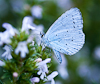 100810-8035 Holly Blue butterfly on Winter Savory