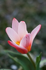 110323-9333 Tulipa kaufmanniana 'Hearts Delight' blossoming in my garden