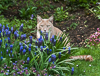 130428-5206 Cat with Grape Hyacinth and Lungwort blossoms, Cambridge